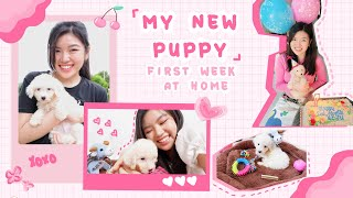 My new puppy: First seven days at home  Bichon Frise Philippines (Brittnee Que)