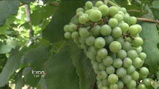 Weekend Gardener: Growing grapes