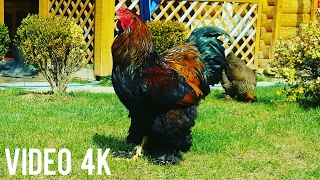 Brahma Chicken - HUGE Gold Brahma Chicken - Most Beautiful Chicken | Video 4K |