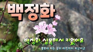 백정화 꽃 보셨나요? …