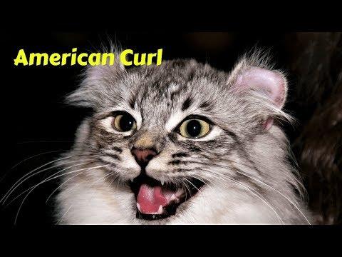 gatti-17-american-curl