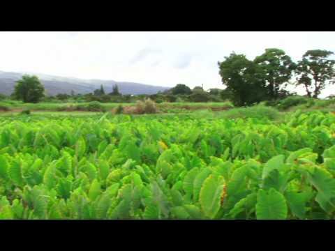 Taro Farm