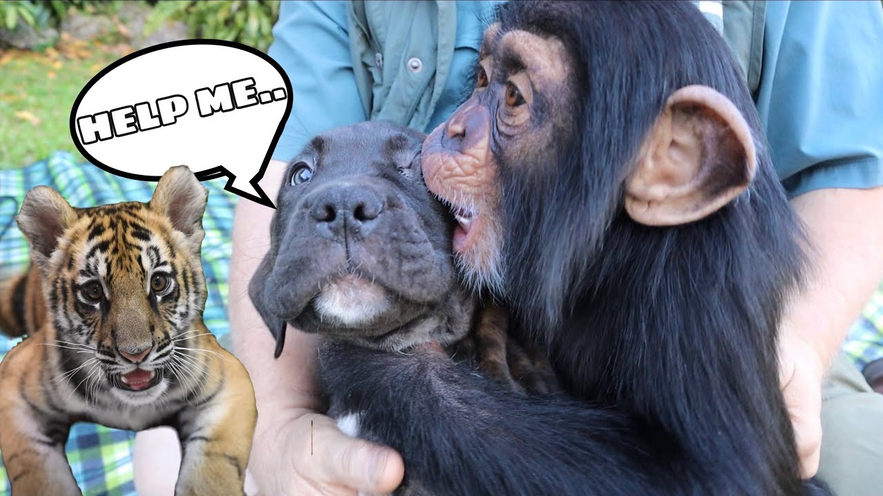 TAKING MY PUPPY TO MEET A BABY TIGER & MONKEY ! WILL THEY BE FRIENDS ?! - download from YouTube for free