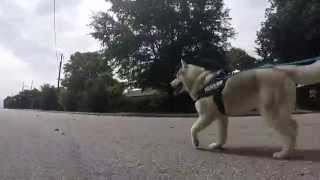 Zeke, Siberian Husky Goes For A Skate