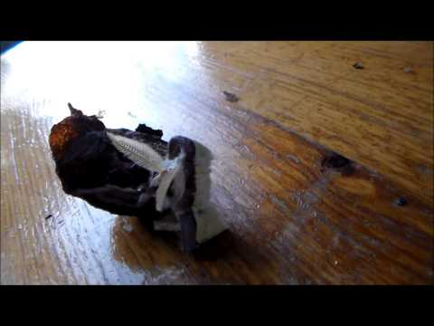 Moth emerge from cocoon (Actias luna!)
