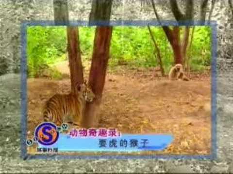 Ape Vs Tigers