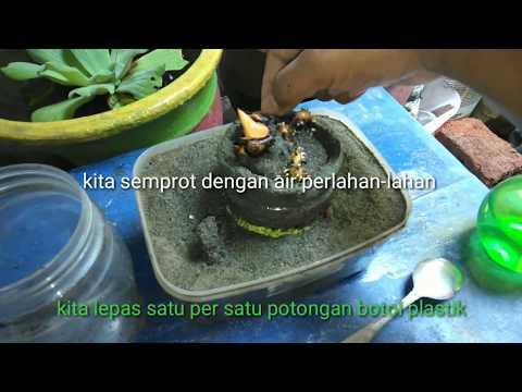 Coconut Bonsai Lihat Perkembangan Penumbuhan Akar Metode Baru