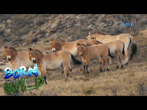 Born to Be Wild: Doc Nielsen observes the behavior of Przewalski's horse in Mongolia