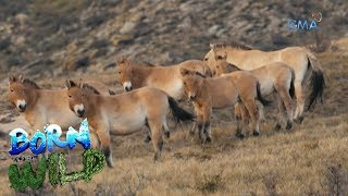 Born to Be Wild: Doc Nielsen observes the behavior of Przewalski's horse in Mongolia