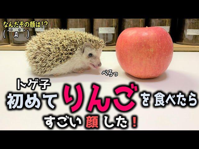 キュン死しそう!初めてりんごを食べたハリネズミの反応が可愛すぎた(くろねこチャンネル)