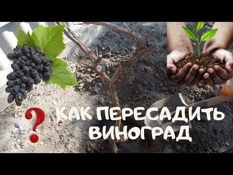 Как пересадить виноград на новое место осенью