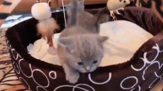 Британские котята 1 месяц ( ЧУДО-ЧУДНОЕ)