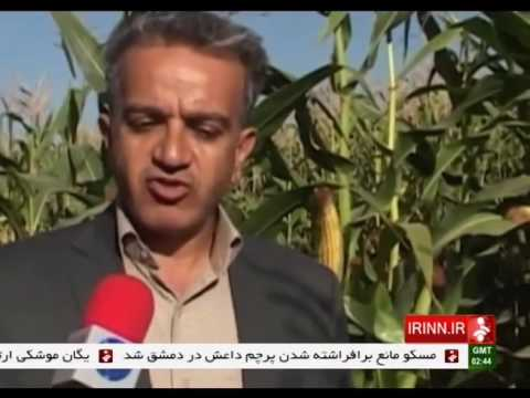 Iran Harvesting feed cattle Corn, Kermanshah province برداشت ذرت خوراك دام استان كرمانشاه ايران