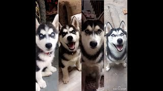 husky growing up from puppyhood TO adulthood ( 2 months -1year old) 🐶