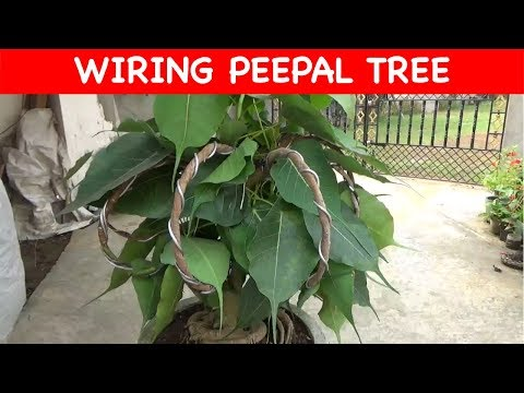 Peepal tree Wiring || Decoration (update) (with English Subtitle)