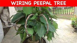 Peepal Tree Wiring || Decoration (update) (with English Subtitle)