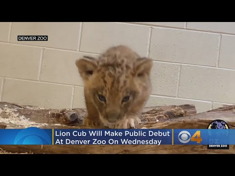 Lion Cub Will Make Public Debut At Denver Zoo On Wednesday