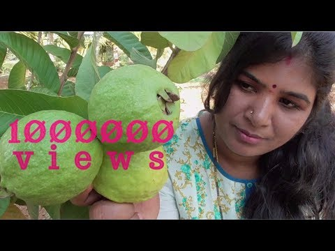 ORGANIC FARM FRESH GUAVA FRUIT SNACK | FOR GLOWING SKIN | VILLAGE FOOD FACTORY