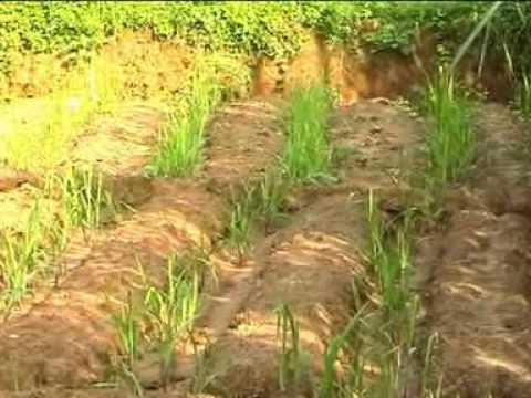 Sugarcane Movie  II  INM HINDI
