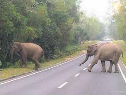 NYATA : Ketemu gajah Liar di Gunung Seulawah Agam - Aceh
