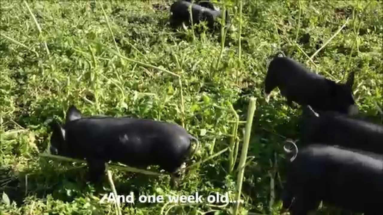 Eyelashes Piglets 2 Days And 1 Week Old Youtube