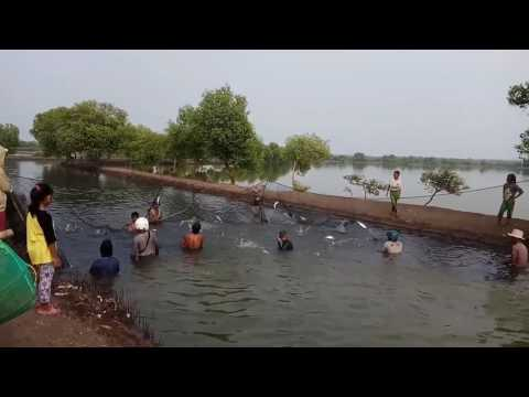 Proses Panen Ikan Bandeng