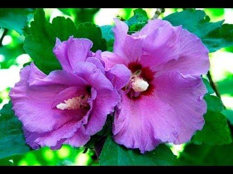 Гибискус – китайская роза. (Чай Каркаде).