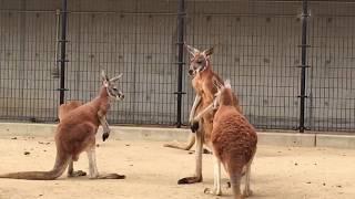 神戸にある王子動物園で撮影したカンガルーの喧嘩動画のショートカット...