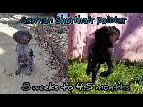 Watch my puppy grow 8 Weeks – 4.5 Months | German Shorthair Pointer GSP Growing Up Transmission