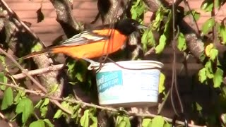 Diy Oriole Feeder. Baling Wire, And A Plastic Food Container.