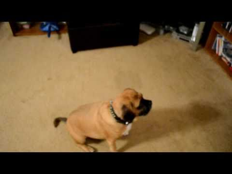 Amazing Dog Trick…Dog plays dead with a treat in his mouth!!!