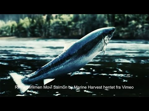 Denne videoen ble Stoppet av Marine Harvest: Lars og Lars VOSSOLAKSEN