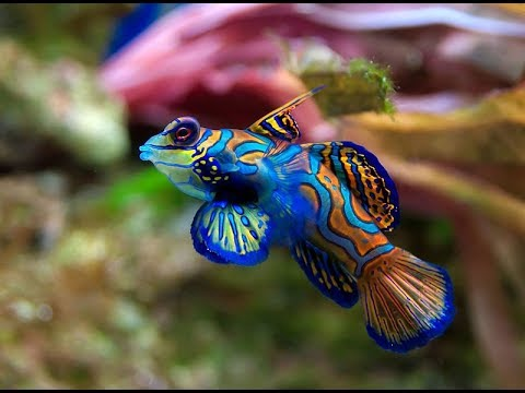 Facts: The Mandarinfish