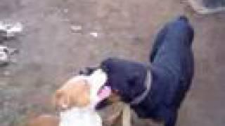 rinha de pit bull com rotwailer