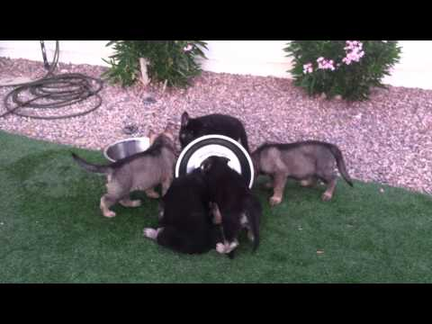 German Shepherd - 7.5 wks pups learning about waterbowls Lime yellow leads the charge