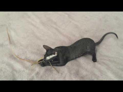 Cornish Rex kitten- Mystery having FUN with mouse teaser toy