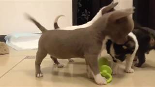 Крошки ЧИХУАХУА щенки 2 месяца