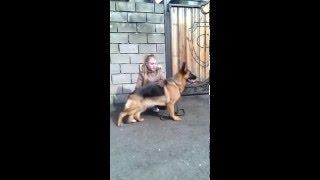 немецкая овчарка Рексона фон Нордэн - Штэрн, 10 мес, Донецк