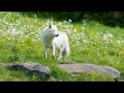 Rare White Wolf In Yellowstone May 16, 2017
