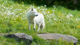 Video Rare White Wolf In Yellowstone May 16, 2017 download MP3, 3GP, MP4, WEBM, AVI, FLV Mei 2017