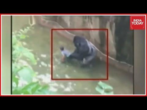 Gorilla Shot Dead to Save Kid