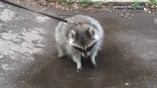 Raccoon-sleuth. What we look for? Funny animals