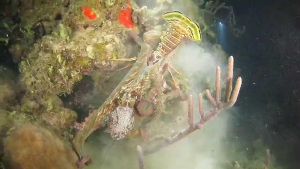 Octopus vs Lobster. Coco View Resort Roatan Island ...