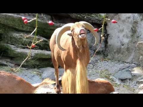 Ram screaming like a human (Barbary sheep)