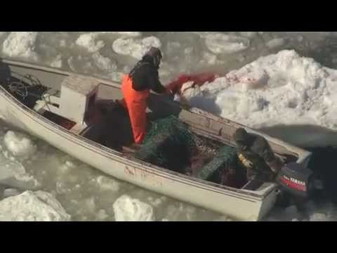 The Cruel Reality Of The 2011 Commercial Seal Hunt - Graphic Footage