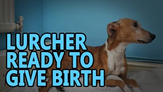 Lurcher Ready Give Birth