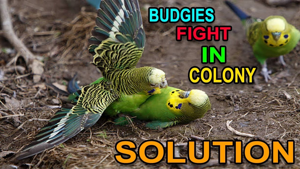Budgies Fight In Colony Or Iska Elaaj | How To Reduce Fights In Colony  Breeding Tips In Urdu/Hindhi