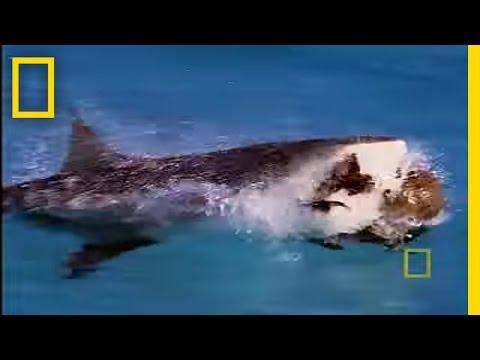 Bull Sharks Hunt