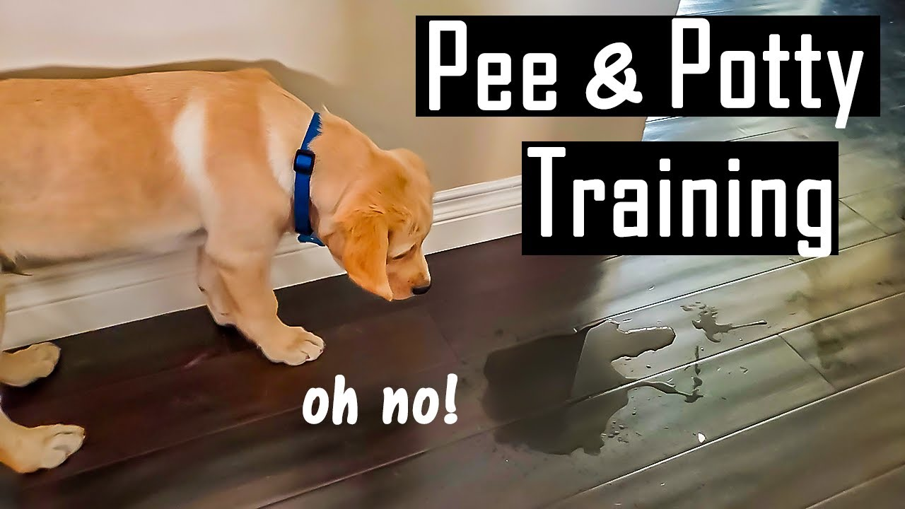 How to Pee and Potty Train your Puppy at Home (My Experiences)   Hindi with English Subtitles