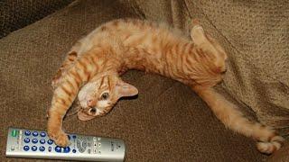 Забавные кошки! Смешное Видео с Кошками! 2015 №8